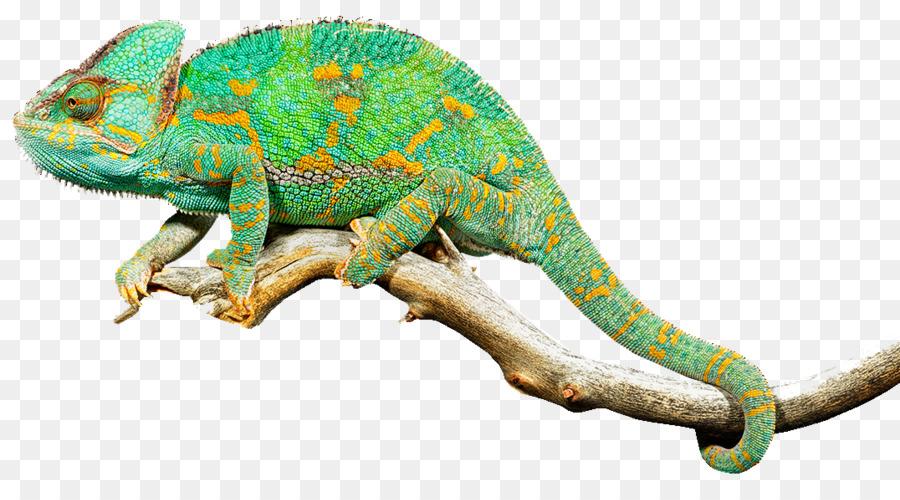 Reptile lizard chameleons common. Chameleon clipart transparent background
