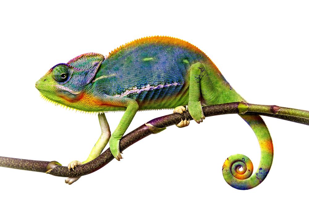 Png file mart. Chameleon clipart transparent background