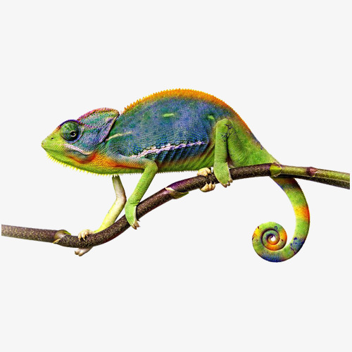 Discoloration on the branches. Chameleon clipart veiled chameleon