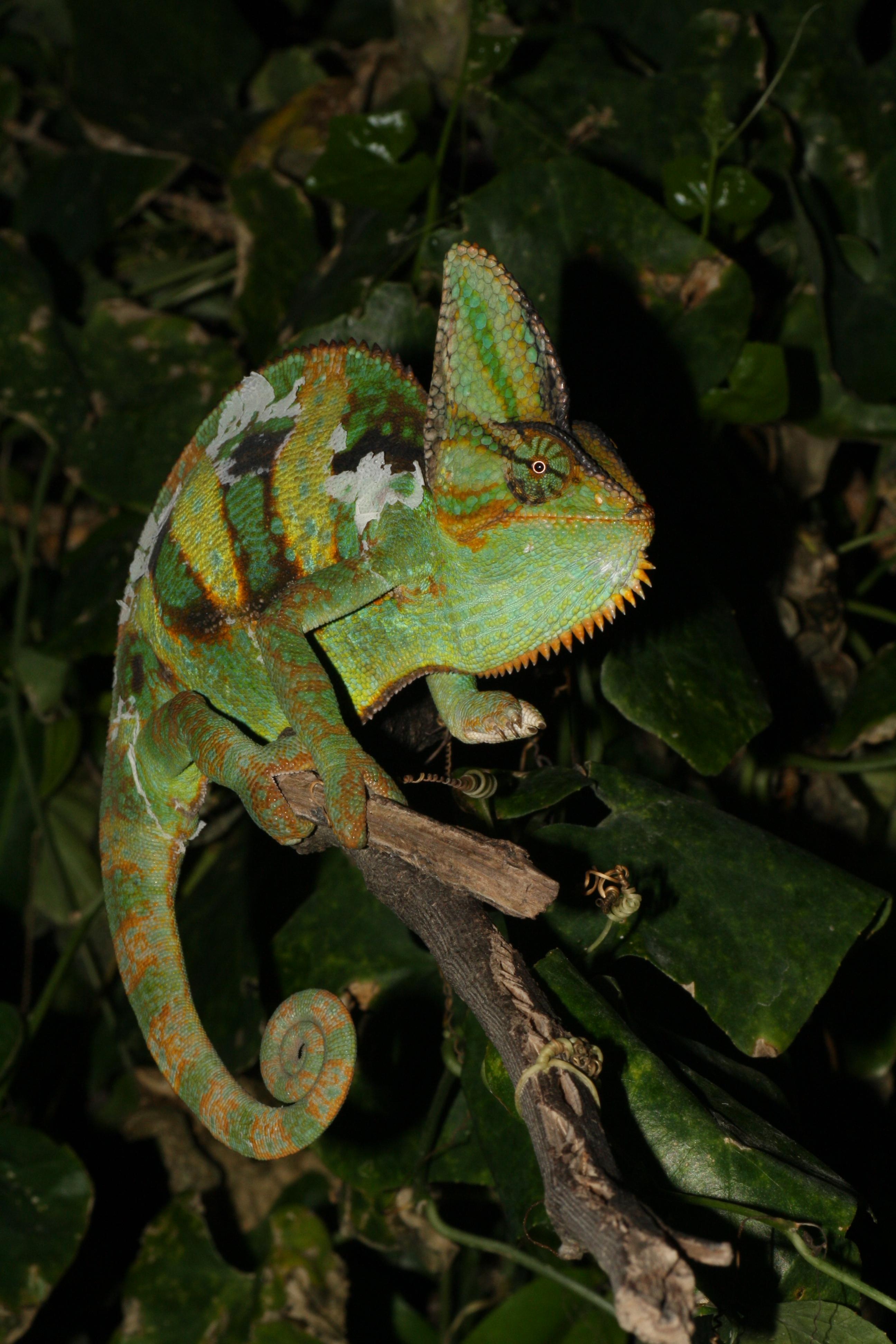 Chameleon clipart veiled chameleon. Chameleons everglades cisma chamaeleo