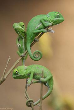 Chameleon clipart veiled chameleon. Art graphics free clip