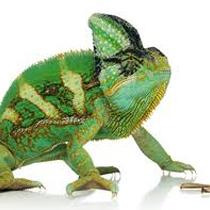 Chameleon clipart veiled chameleon. The jungle zoo cleethorpes
