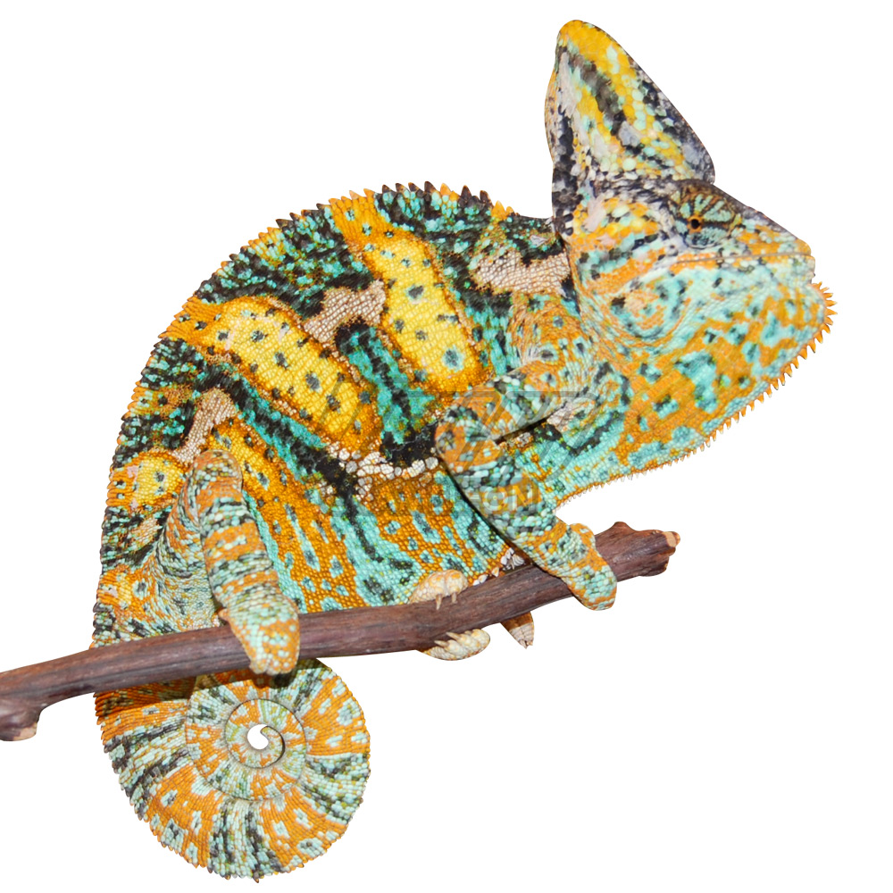 Premium baby orville. Chameleon clipart veiled chameleon