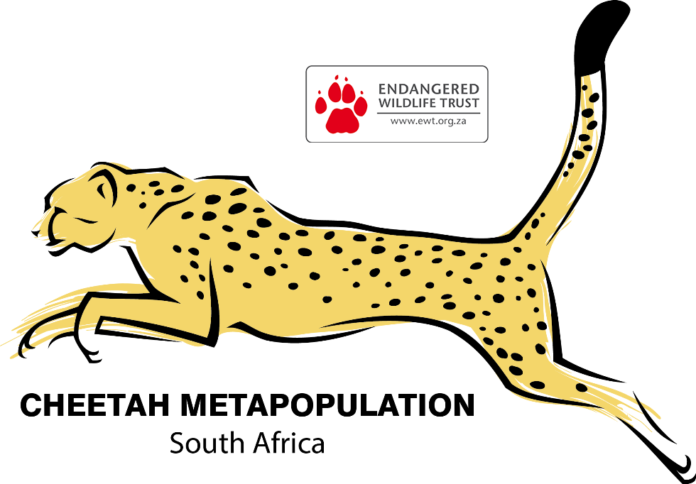 Cheetah african cheetah