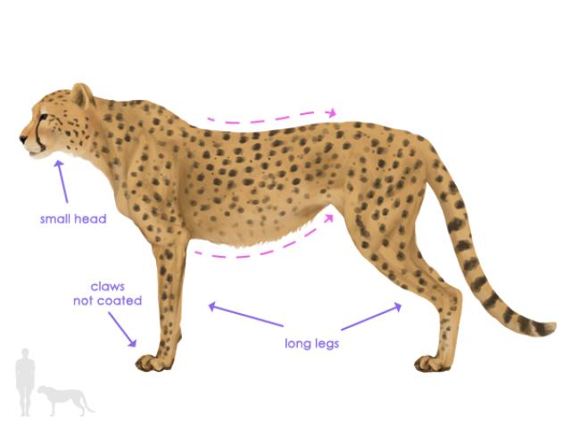 Cheetah clipart body. Free download clip art