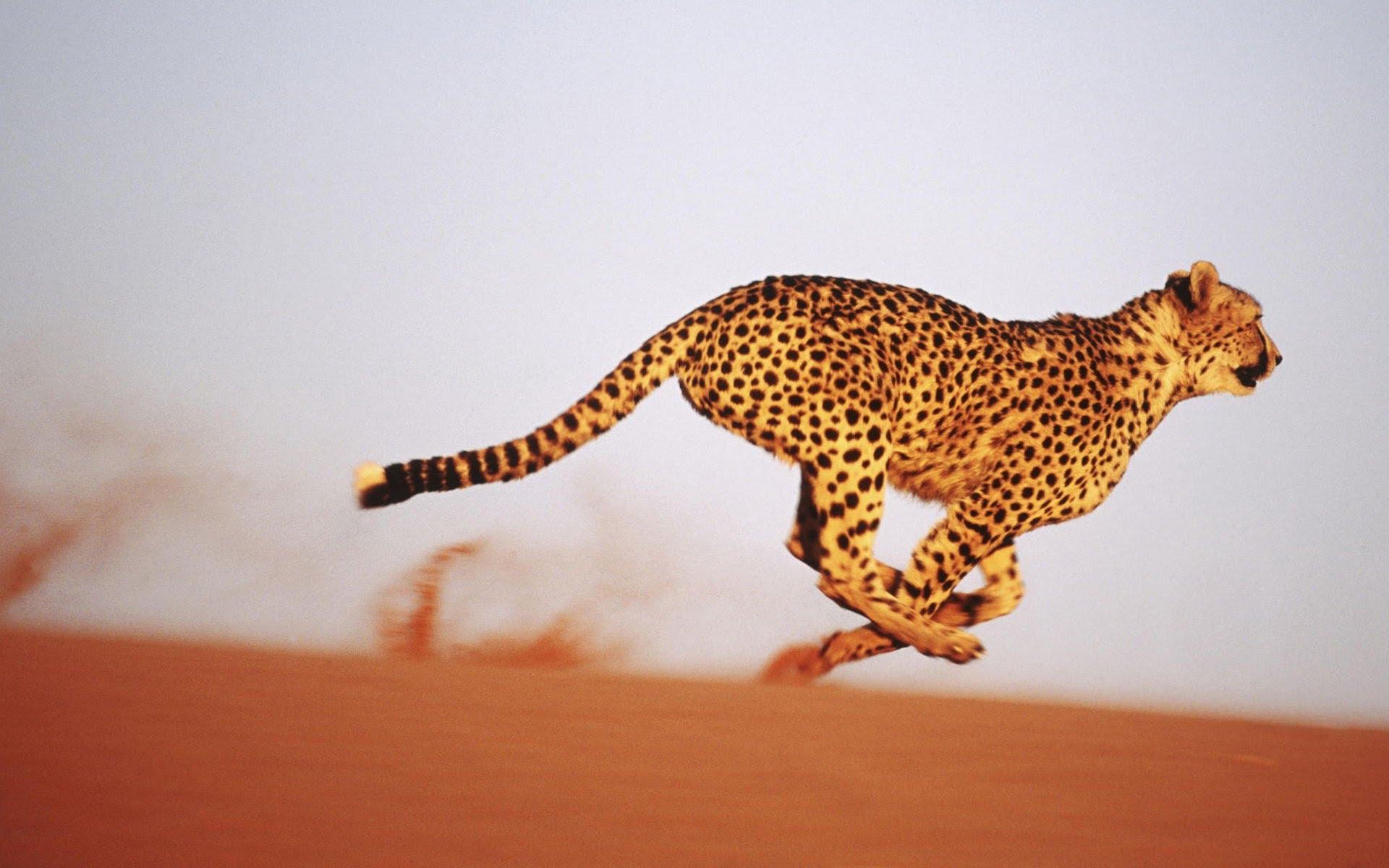 Animated Cheetah Wallpaper fun pics & images