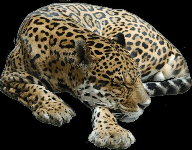 Sleeping transparent png stickpng. Head clipart cheetah