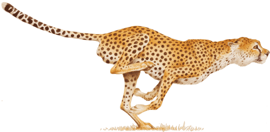 Png images free animals. Cheetah clipart transparent background