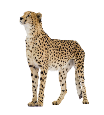 Cheetah clipart transparent background. Png picture web icons