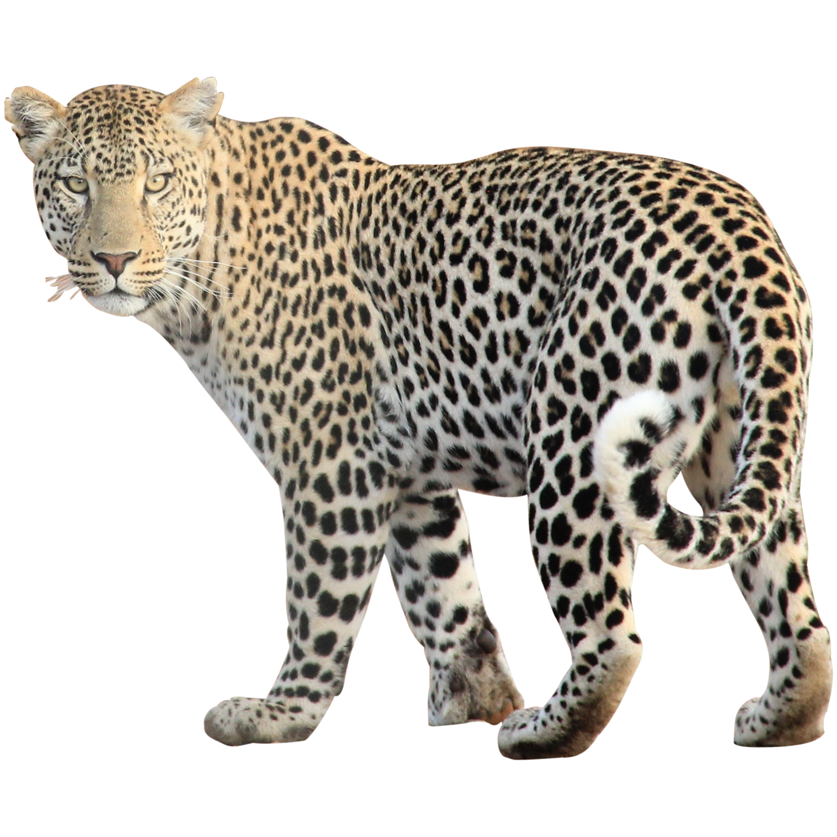 Animals png free images. Cheetah clipart transparent background
