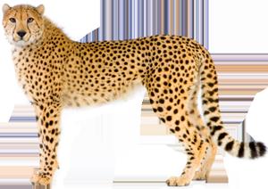Cheetah clipart transparent background. Png