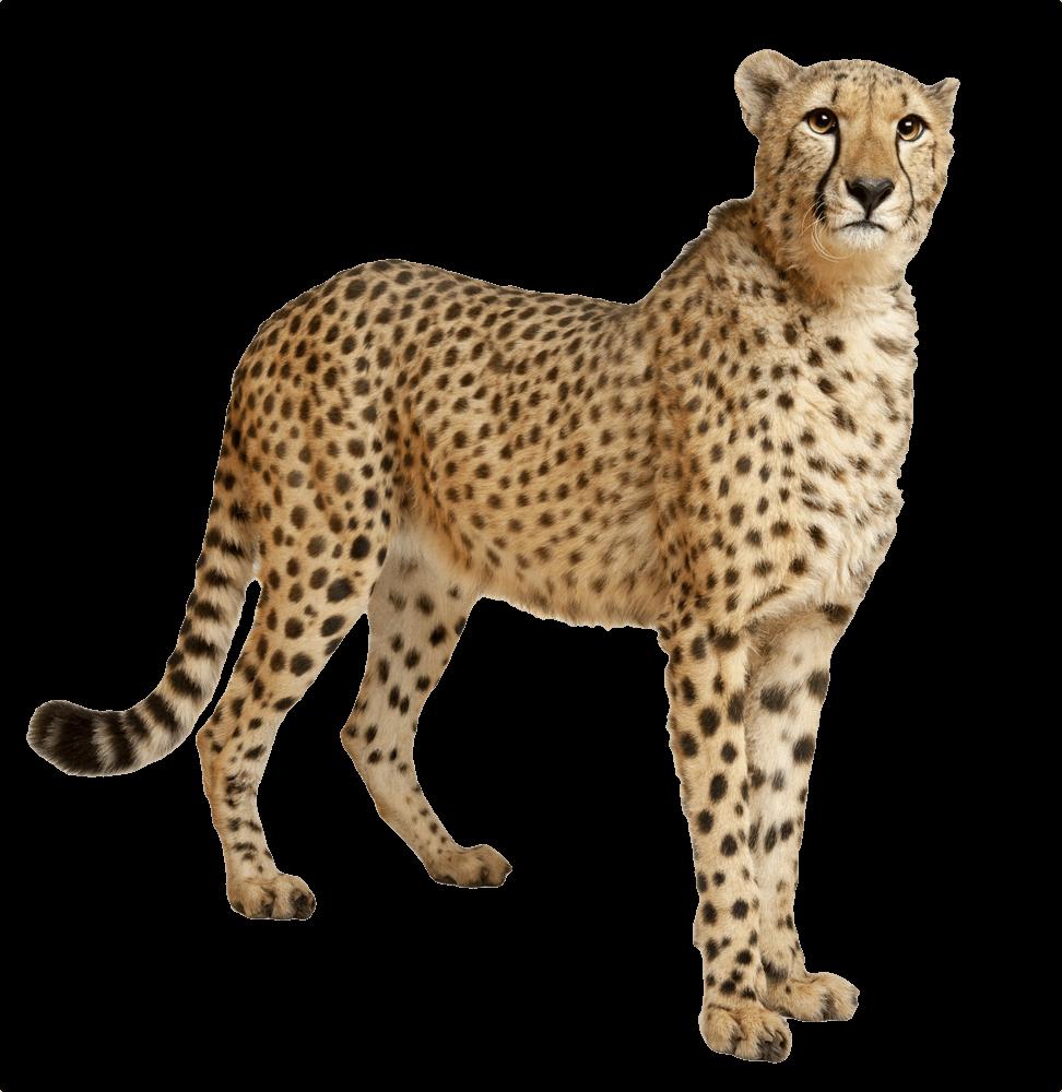 Head clipart cheetah. Still transparent png stickpng