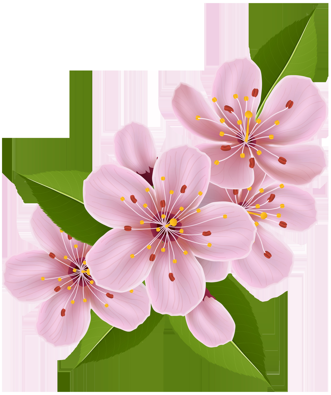 Spring cherry blossom flowers. Sakura flower png
