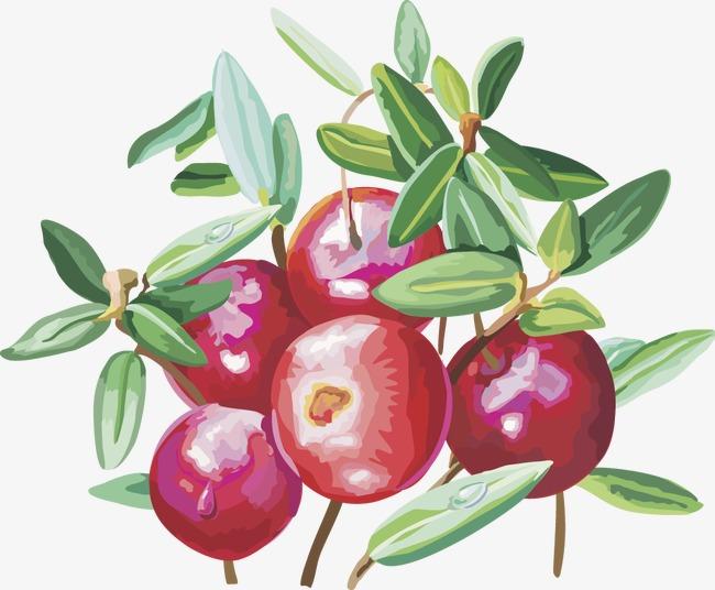 Vector fruit png image. Cherries clipart cranberry