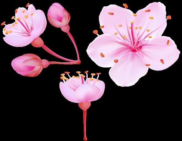 Spring blossoms clip art. Cherry blossom flower png
