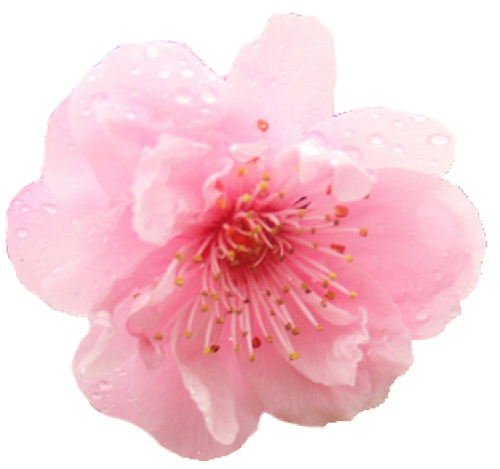 Cherry blossom flower png.