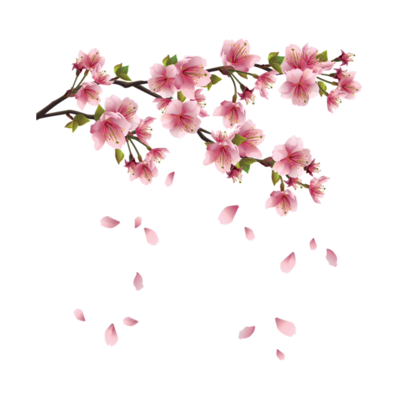 Cherry blossom flower png. Clip art transprent free