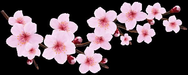 Cherry blossom flower png. Spring pink twig transparent