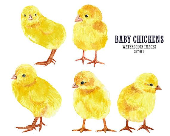 Watercolor chicks clip art. Chick clipart baby chicken
