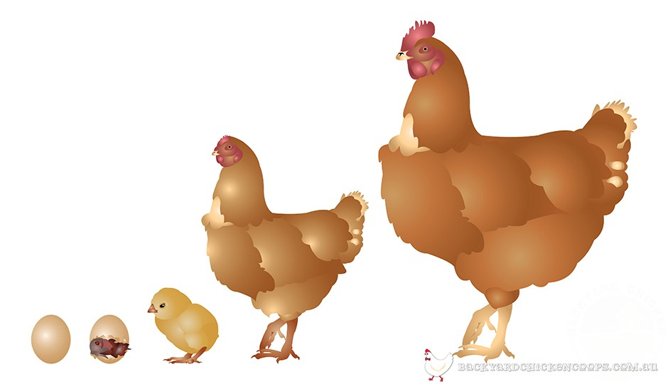 Chicken life cycle . Chick clipart chook