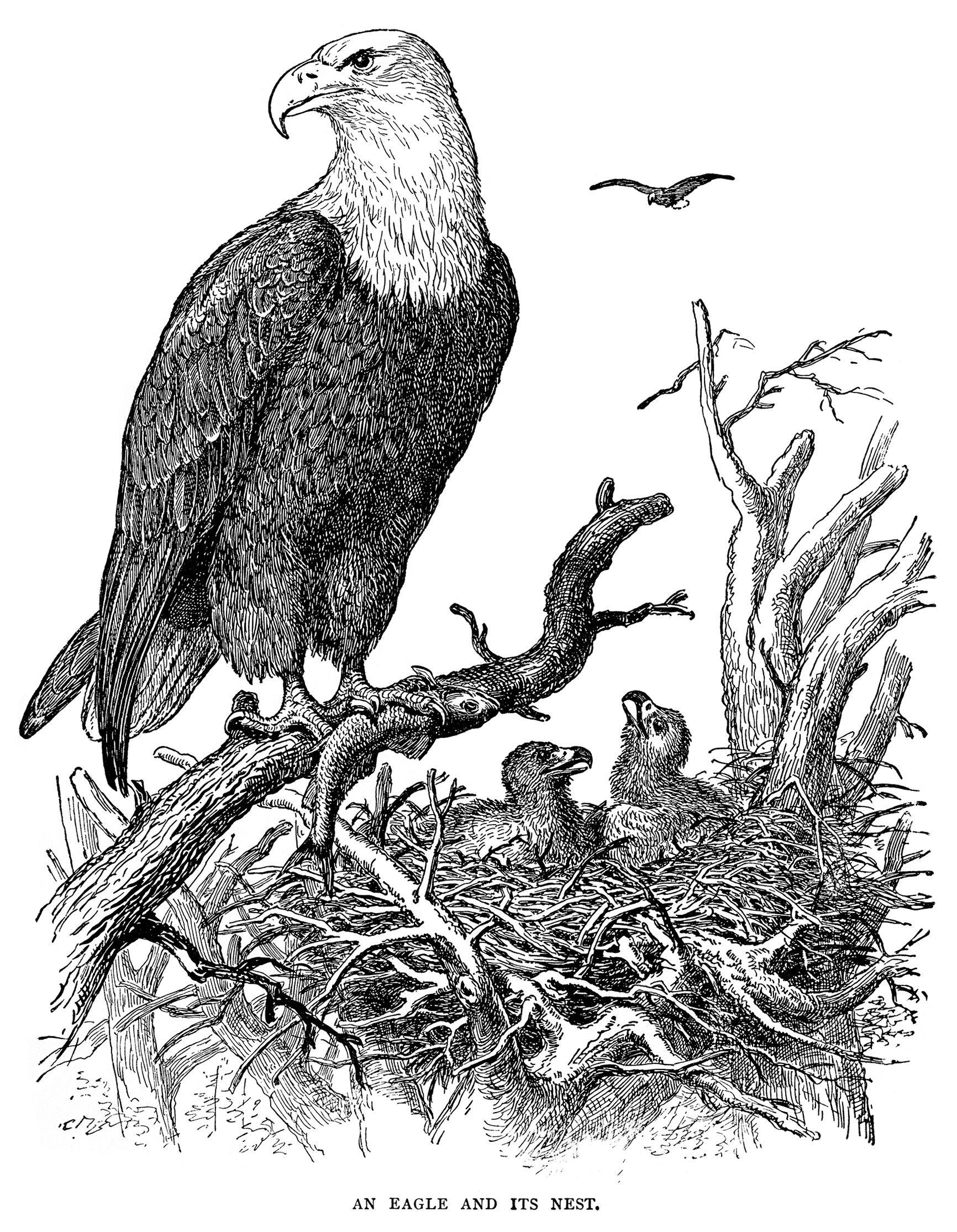 Vintage clip art black. Nest clipart eagle nest