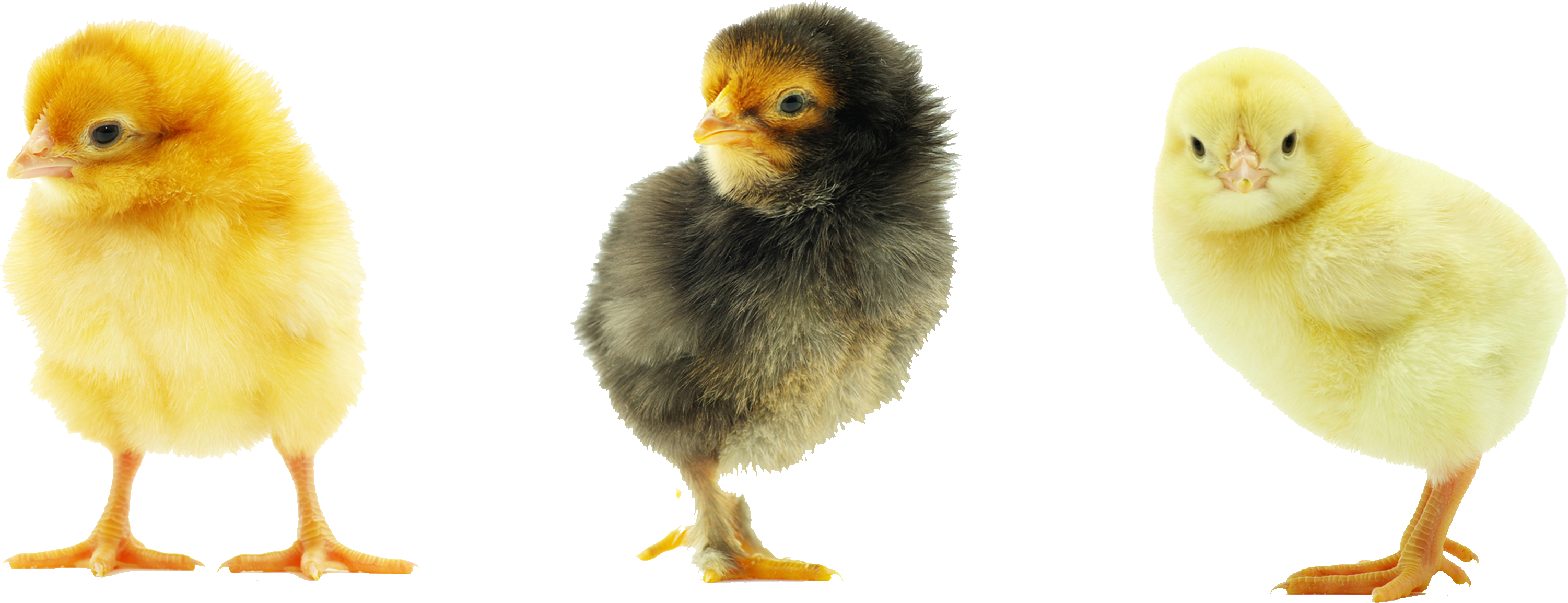 Chick png images free. Chickens clipart transparent background