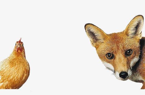And creative png image. Chicken clipart fox