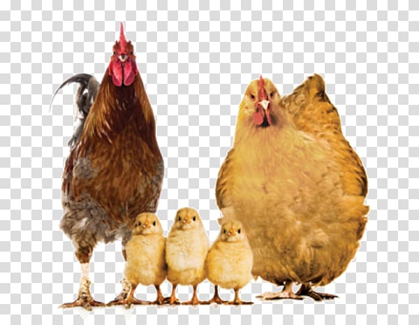 Chickens clipart barbecue chicken. Rooster hen and chicks