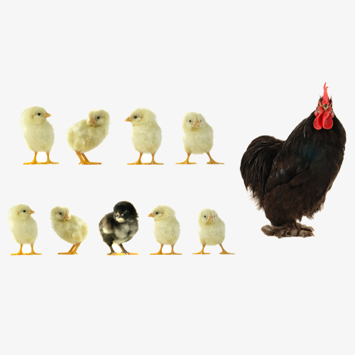 Chickens clipart grilled chicken.  hen yellow png