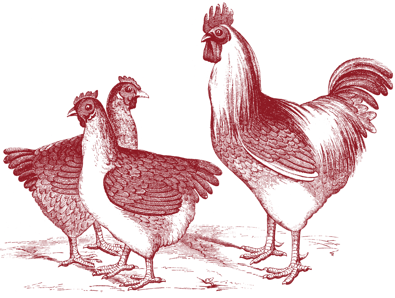 Free chicken graphics the. Chickens clipart vintage