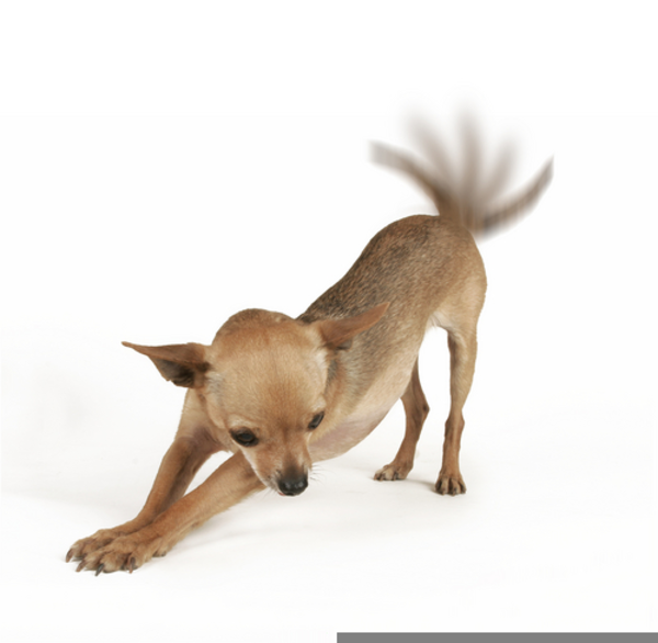 Free images at clker. Chihuahua clipart angry chihuahua