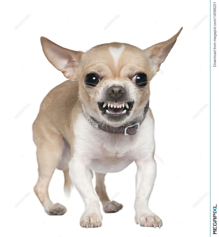 Chihuahua clipart angry chihuahua. Growling years old stock