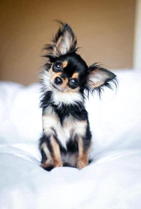 Chihuahua Clipart Long Hair Chihuahua Chihuahua Long Hair
