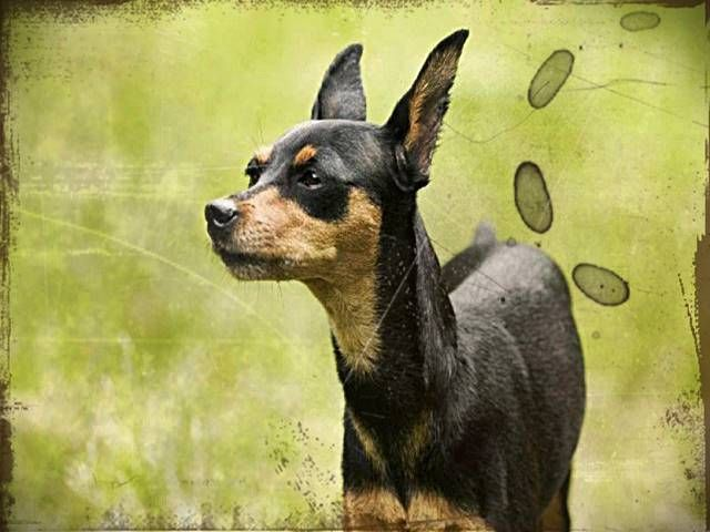 Puppies for sale new. Chihuahua clipart mini pinscher