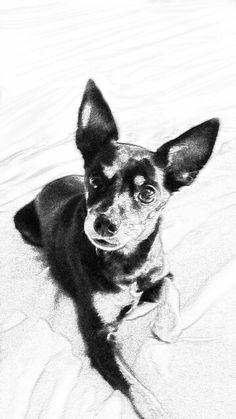 Chihuahua clipart mini pinscher. Miniature sketch min pin