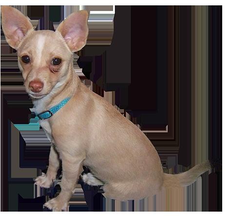 Chihuahua clipart small dog. Clip art cartoon illustrations
