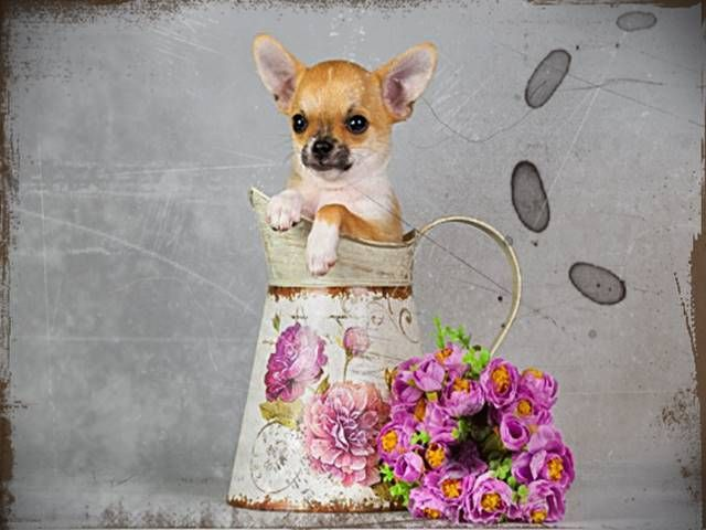 Chihuahua clipart teacup chihuahua. Jack russel mix welpen