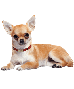 Chihuahua clipart transparent. Lying down png stickpng
