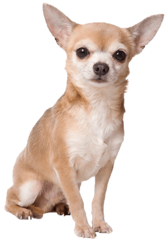 Png free images . Chihuahua clipart transparent