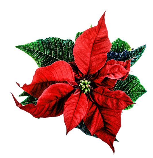 Christmas flower png. Artesanato pinterest christmasflowerpng graphic