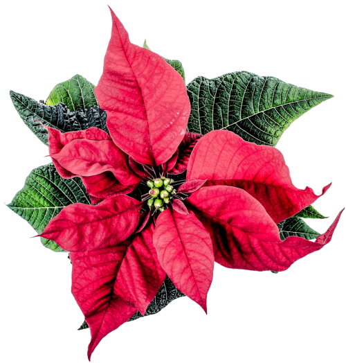 Christmas flower png. Poinsettia transparent image pngpix