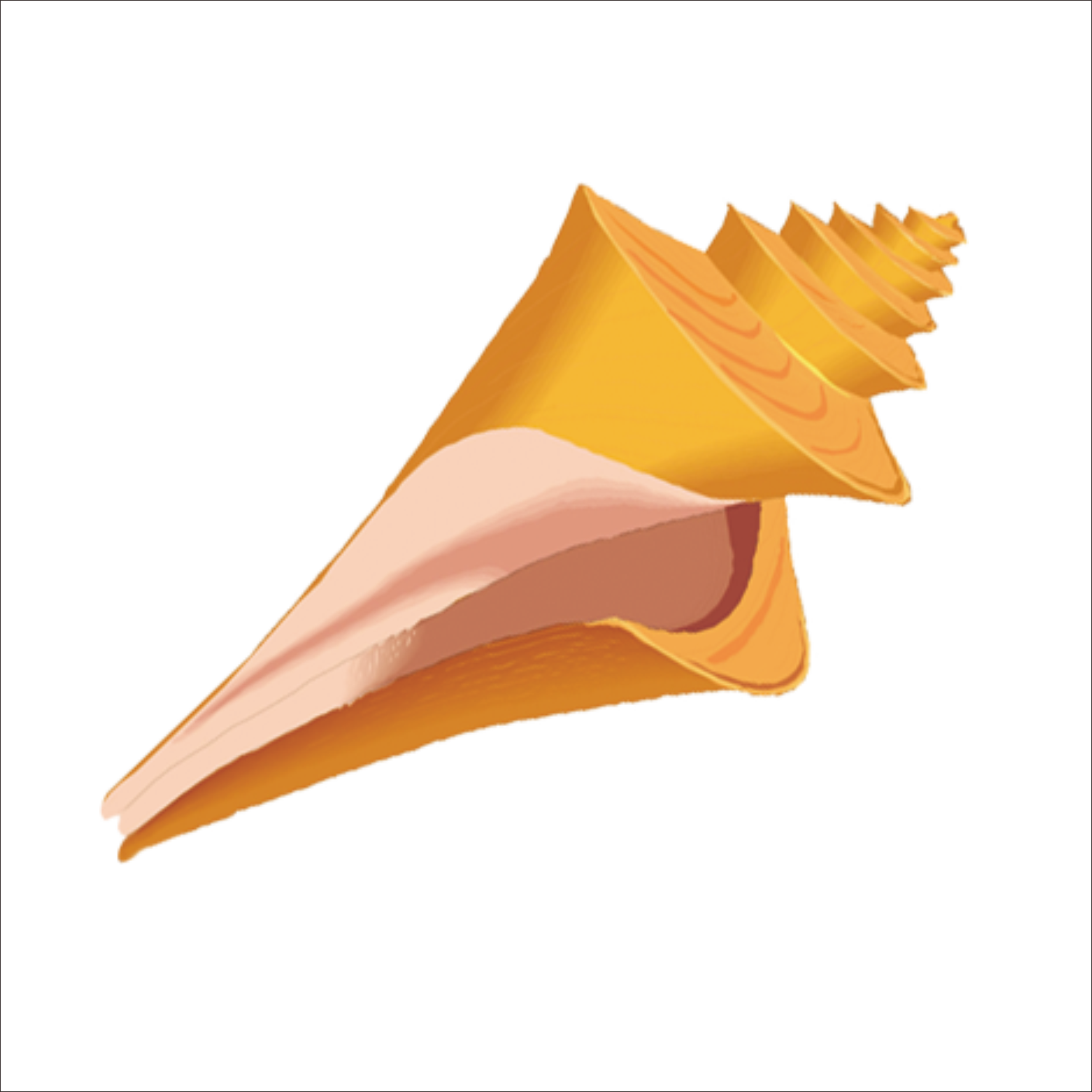 Shell clipart shell spiral. Conch at getdrawings com