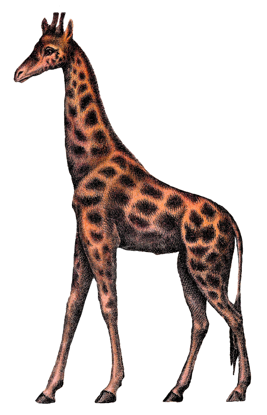 Antique images vintage digital. Giraffe clipart terrestrial animal