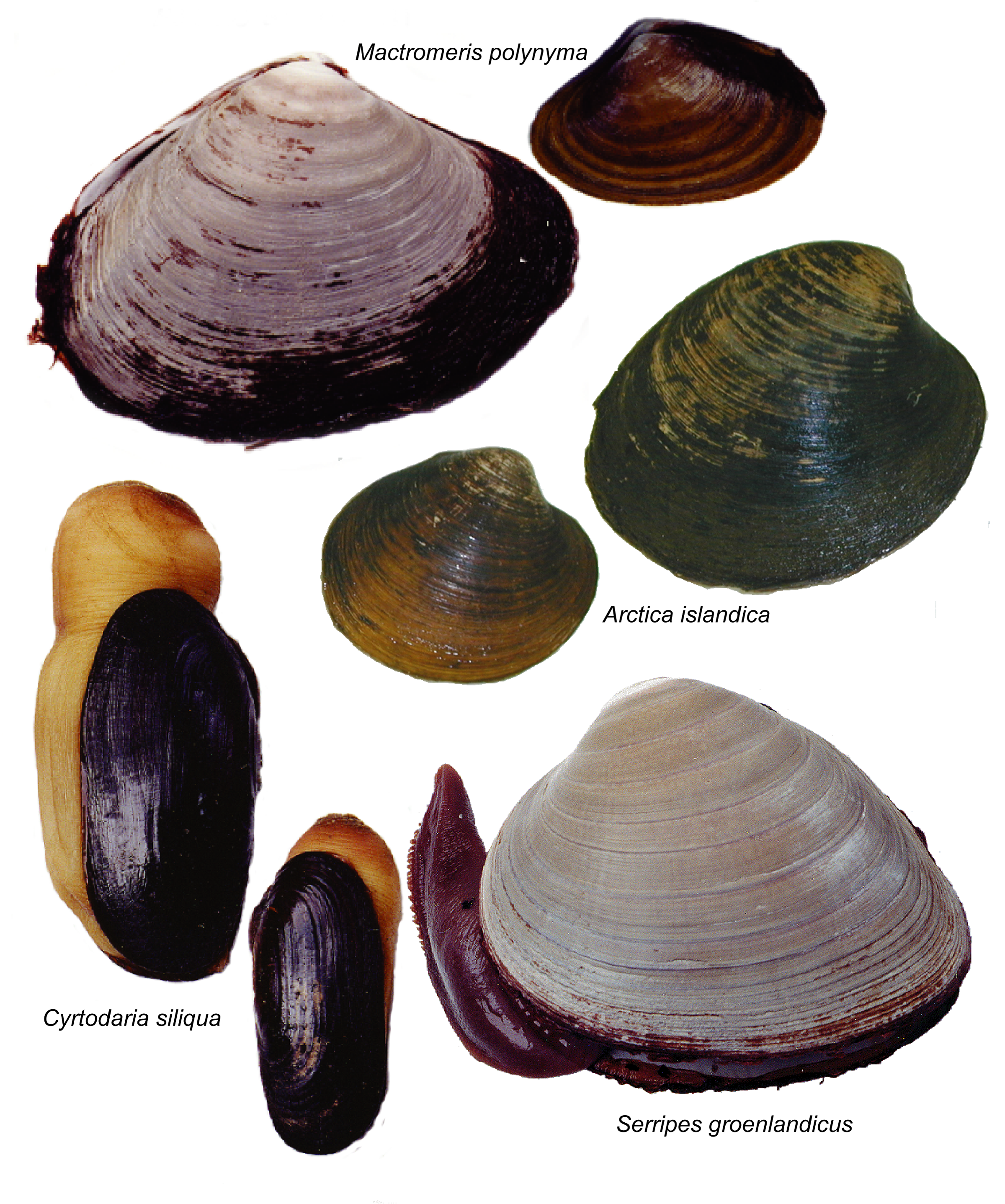 Clam PNG HD Transparent Clam HD