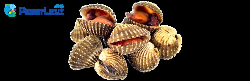 Pasar laut on twitter. Clam clipart kerang