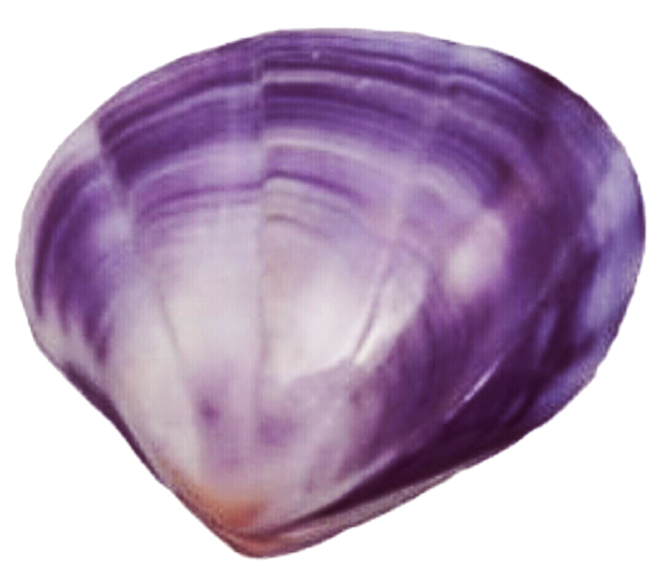 Shell clipart purple clipart. Clam by jeanicebartzen on