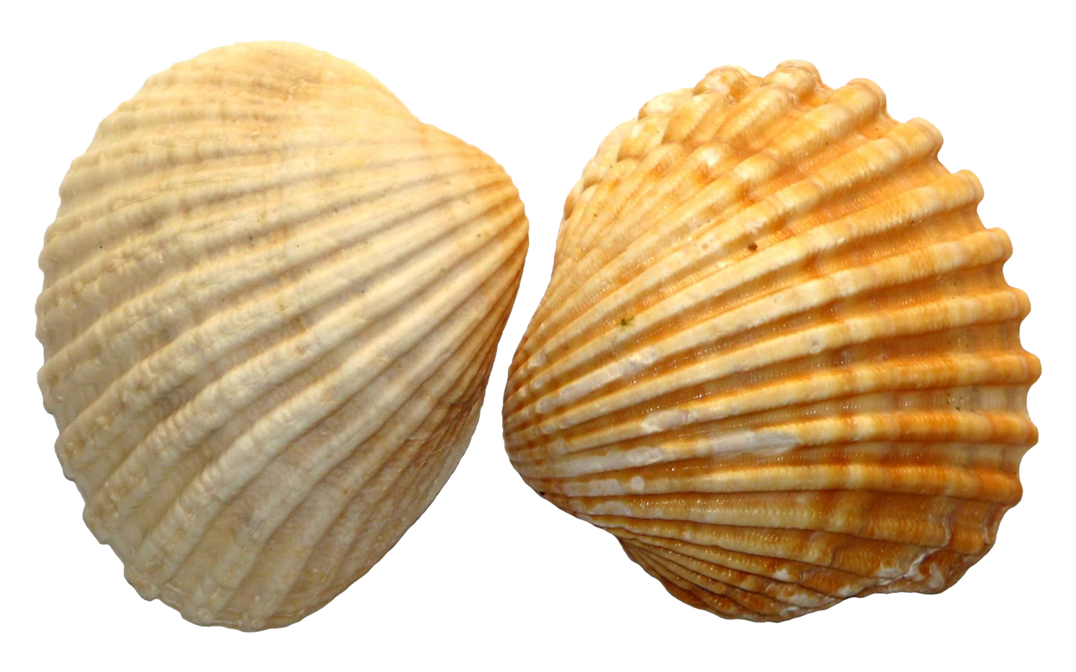 Shell clipart form. Clam png hd transparent