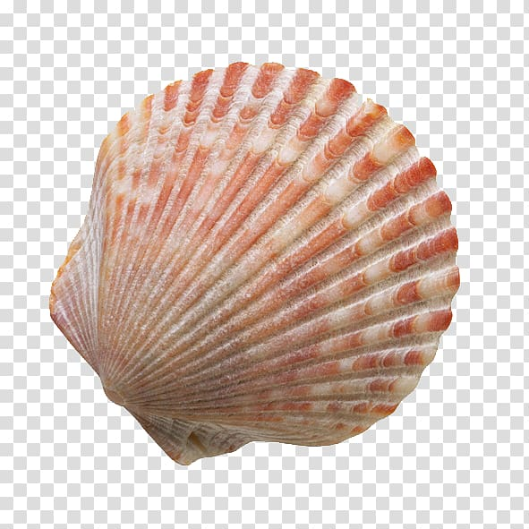 Clam clipart shell beach. Red and white seashell