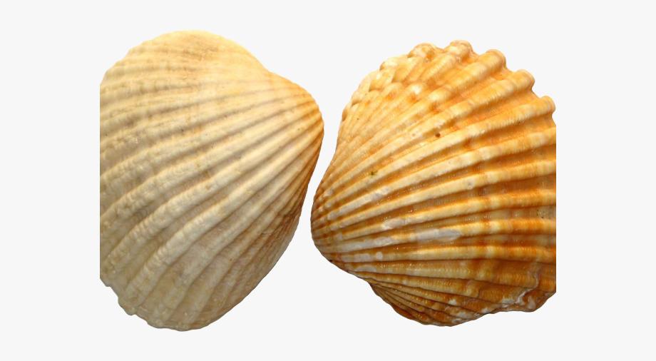 Clam clipart shell beach. Clams deniz kabu u