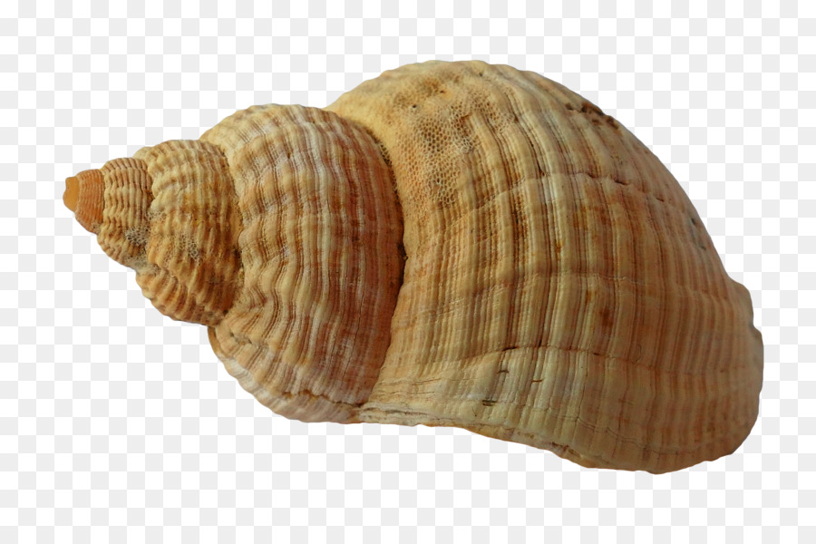 Seashell mollusc sea png. Clam clipart shell beach